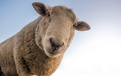 Redyk Karpacki, tradycyjny spęd owiec